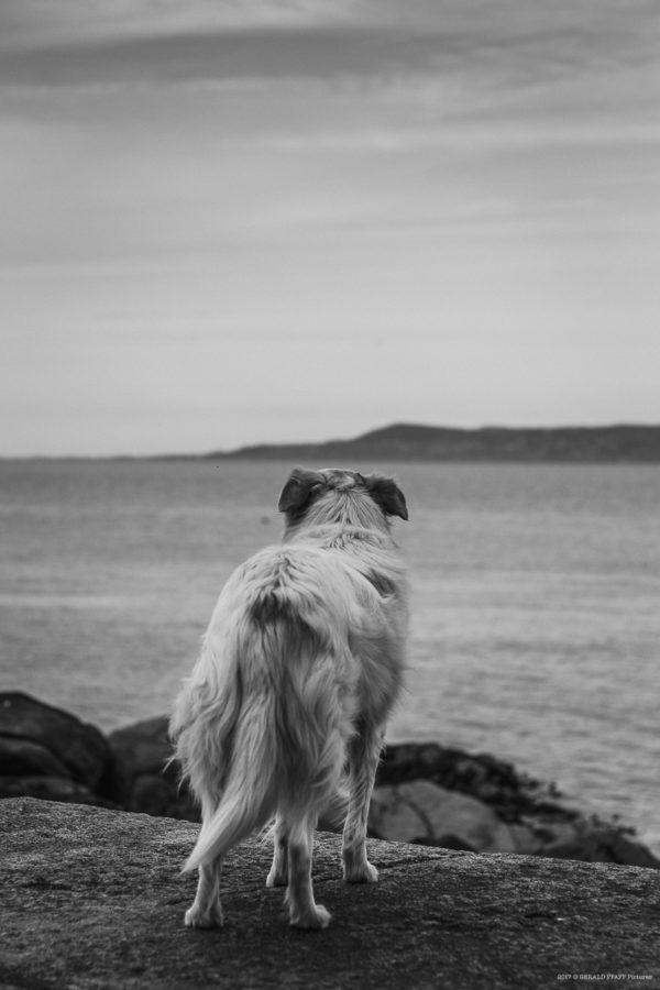 Dog Loaghaire