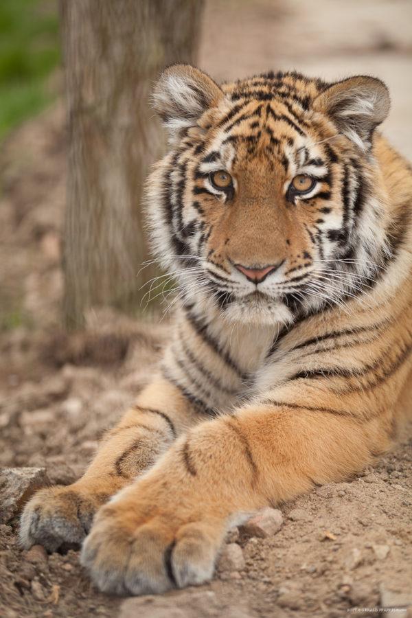 Elsa the Tiger (7 Months)