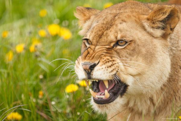 Lion – Löwenzähne