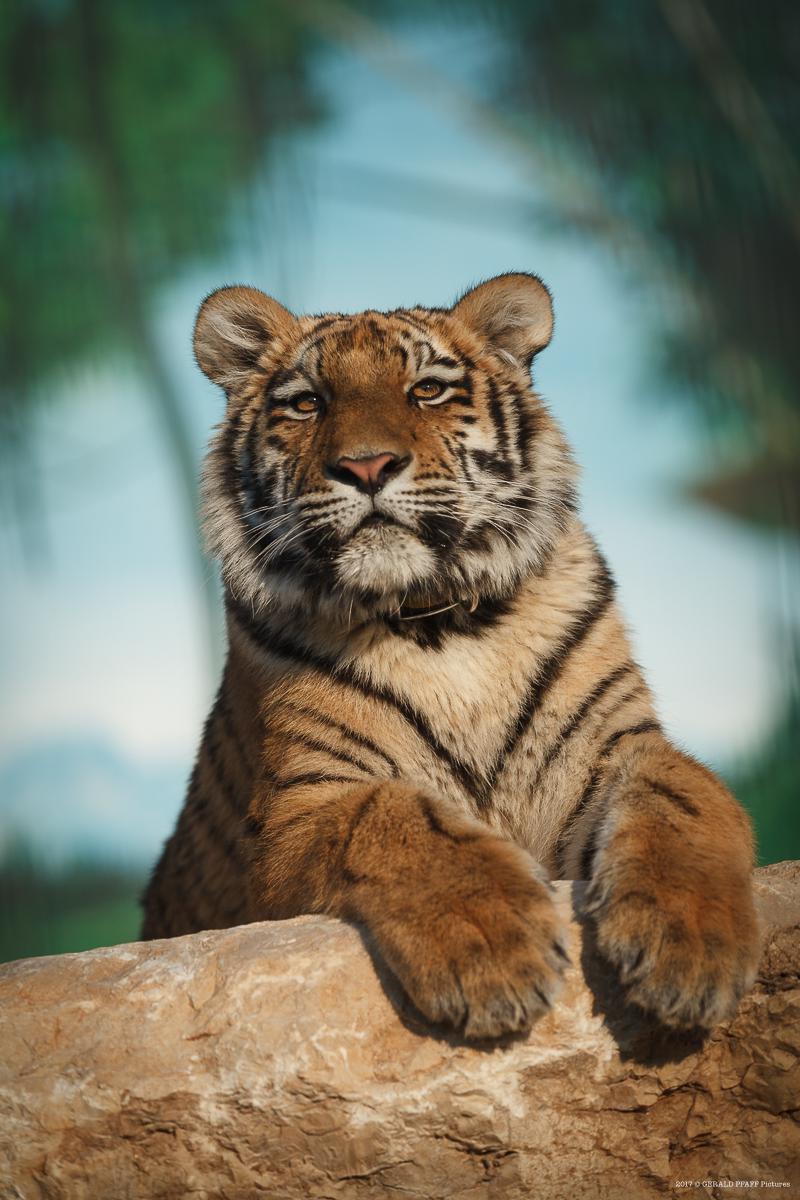 Elsa Tiger