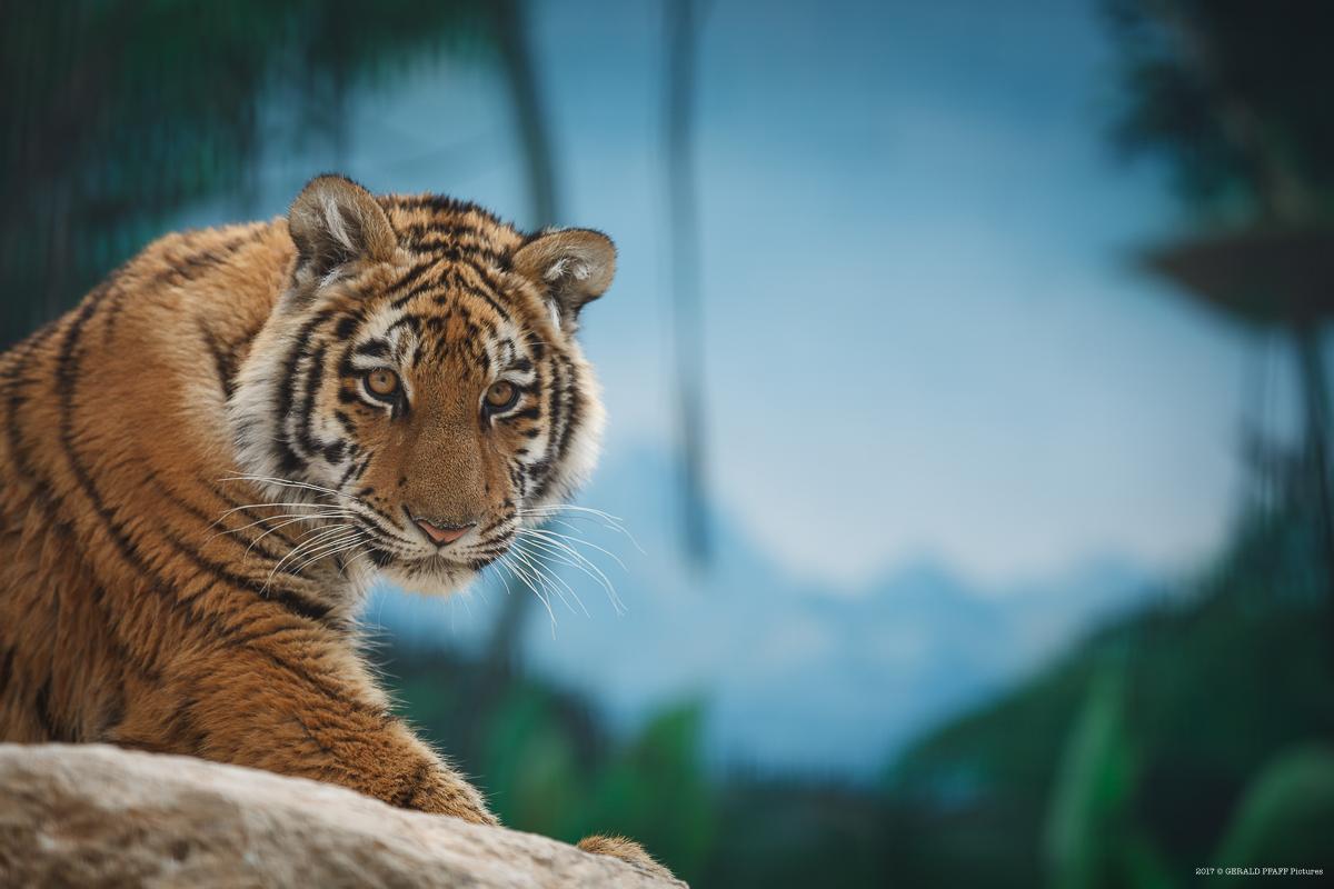 Tiger Elsa