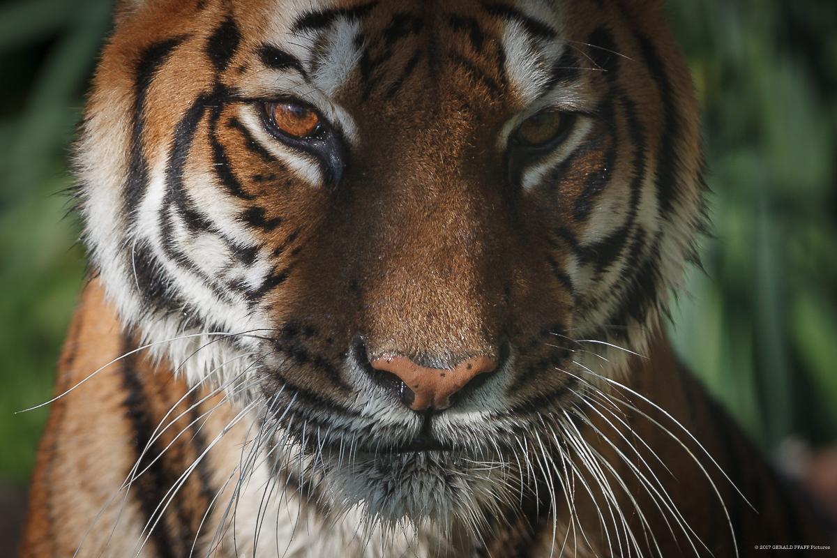 Indochinesischer Tiger