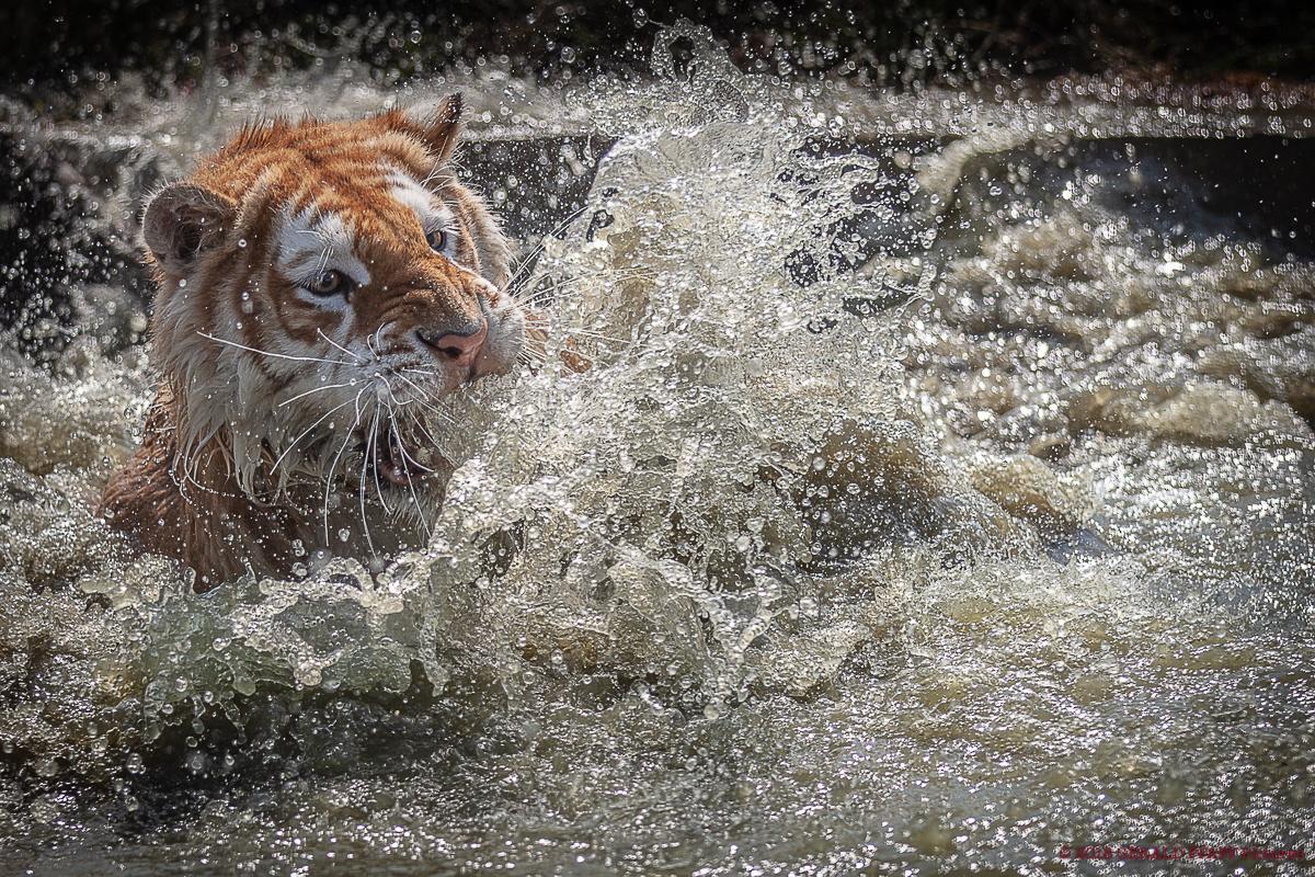#Tiger #Splash